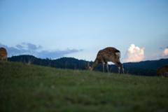 若草山山頂の鹿たちその15