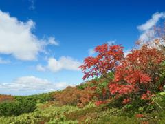 ウラジロナナカマドの紅葉