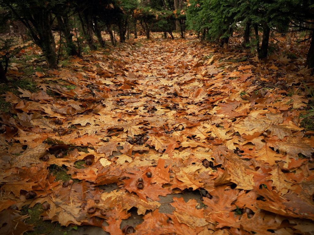 どんぐりと落ち葉の道