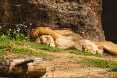The lion sleeps afternoon