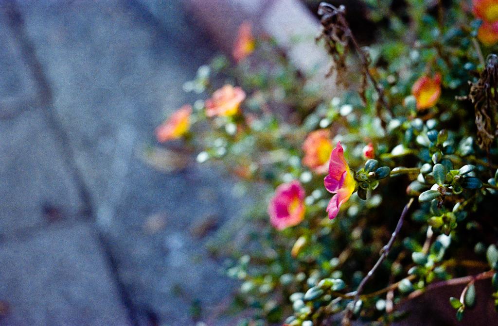 歩道の鉢植えの花