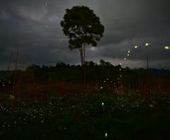 なき竹林を舞うヒメボタル