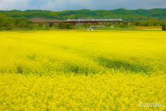 黄花の海を渡る