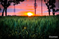 青麦の照らされる夕べ
