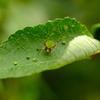 緑色のクモ
