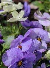 てんとう虫とお花