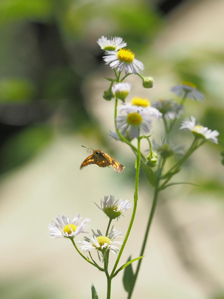 キマダラセセリの飛翔、その3