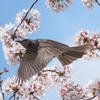 桜にヒヨドリ、その7
