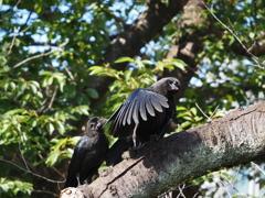 カラスの幼鳥、その2