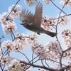 桜にヒヨドリ、その6