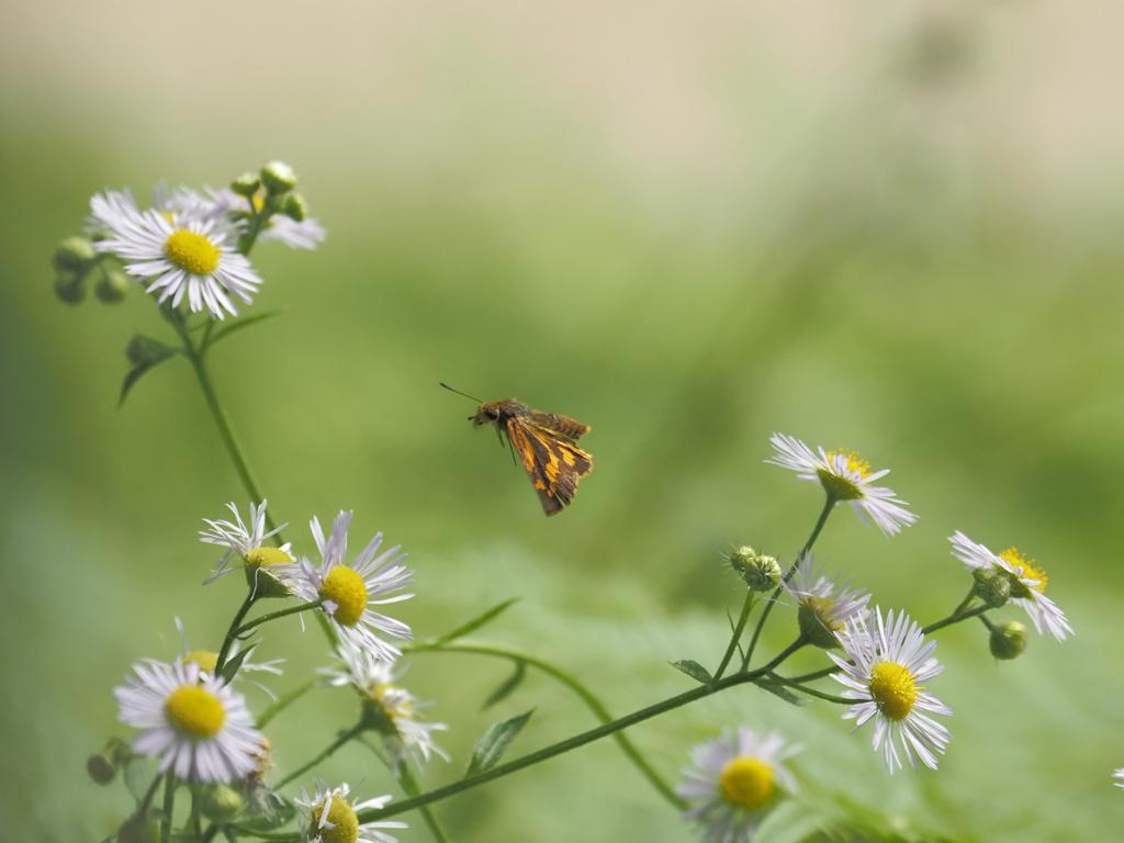 キマダラセセリの飛翔、その2
