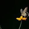 黒に映えるナミアゲハ