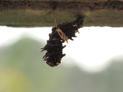 ジャコウアゲハの幼虫、その2