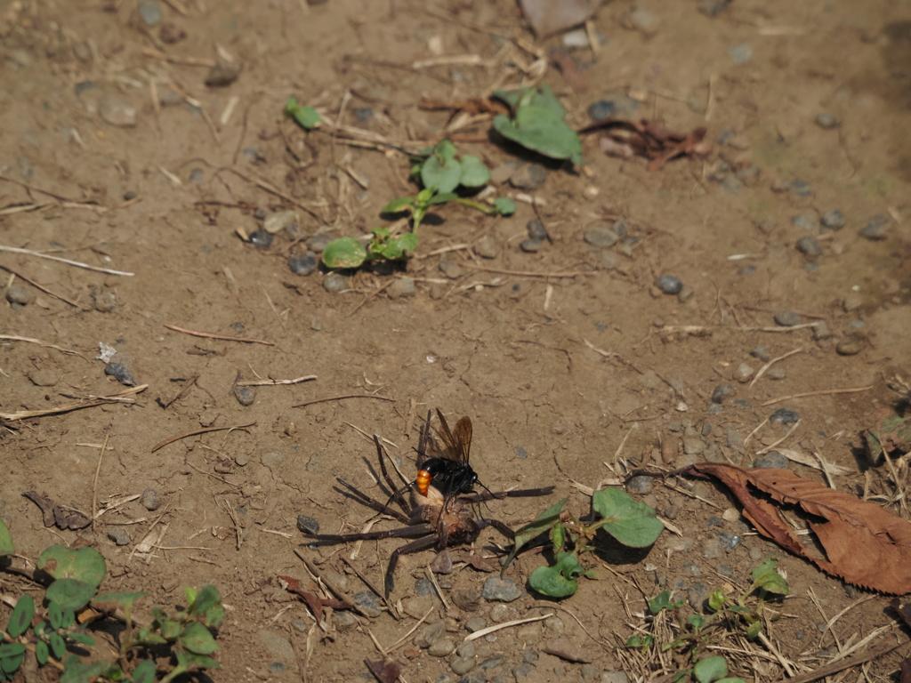 アシダカグモを狩るツマアカクモバチ