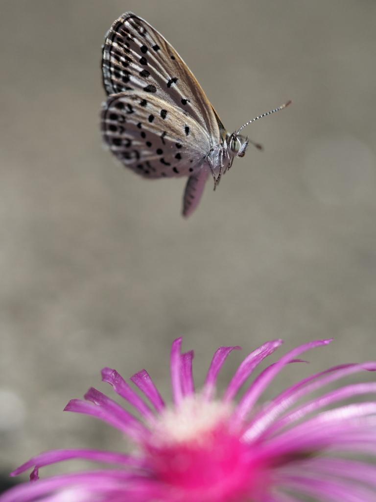ヤマトシジミの飛翔、その87