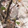 桜にシジュウカラ、その5