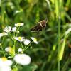 オオチャバネセセリの飛翔、その2