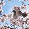 桜にヒヨドリ、その5