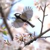 桜にシジュウカラ、その4