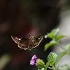 イチモンジセセリの飛翔、その3
