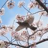 桜にヒヨドリ、その4
