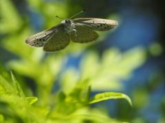 ヤマトシジミの飛翔、その29