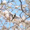 桜にシジュウカラ、その2