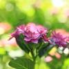 紫陽花だってキラキラしたい