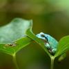 貴重な青いカエル