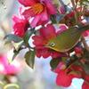 山茶花の蜜を2