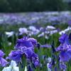 一面に咲き乱れる花畑