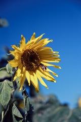 花ひろば 季節外れひまわり