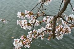 よくある桜