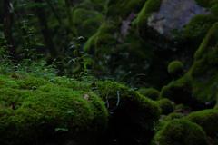 苔の群生地