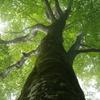 三方倉山 ブナの樹
