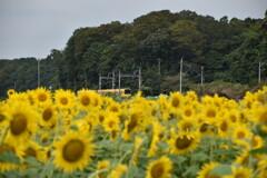 向日葵と黄色いガタンコ