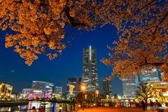 みなとみらいの夜桜
