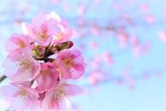クローズアップ河津桜(1)