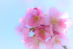 クローズアップ河津桜 (2)