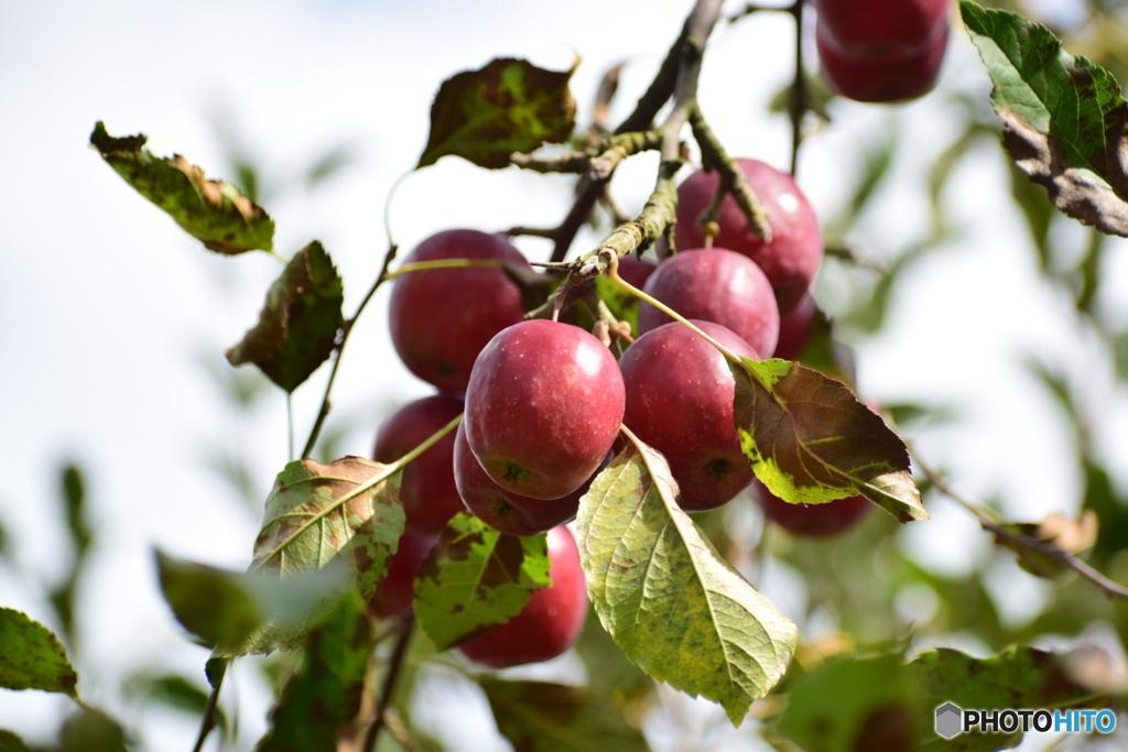 りんご園 4