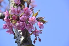 河津桜、次々と開花してます。(3)