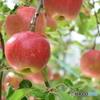 りんご園 6