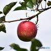 りんご園 5
