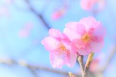 クローズアップ河津桜 (3)