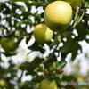 りんご園 3