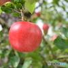 りんご園 2