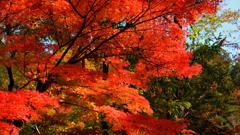 最上山公園~紅葉の枝振り2019