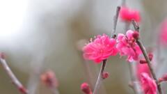 梅の花2017