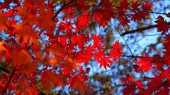 最上山公園~真紅の紅葉2019