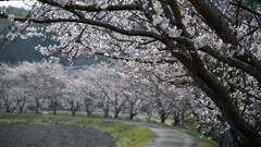 Sakura Namiki2019